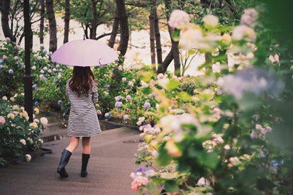 梅雨のアジサイ
